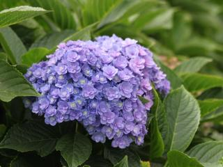 Hydrangea Together® blue