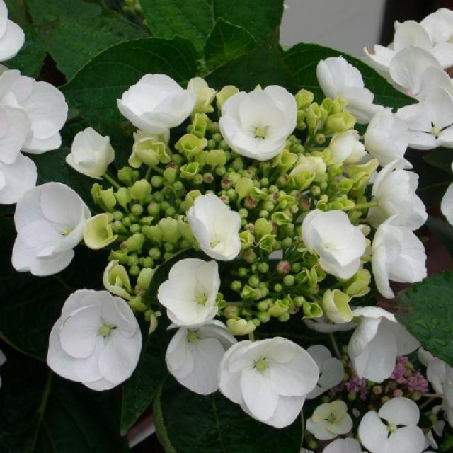 Hydrangea Macrophylla white edge bloom
