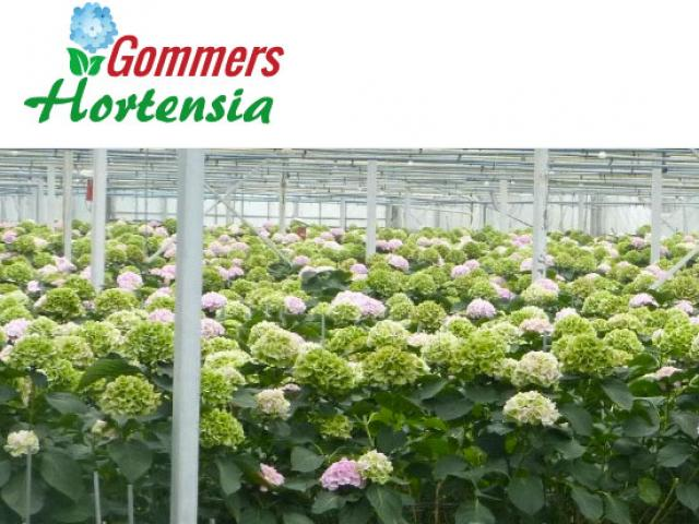 Gommers Hortensias