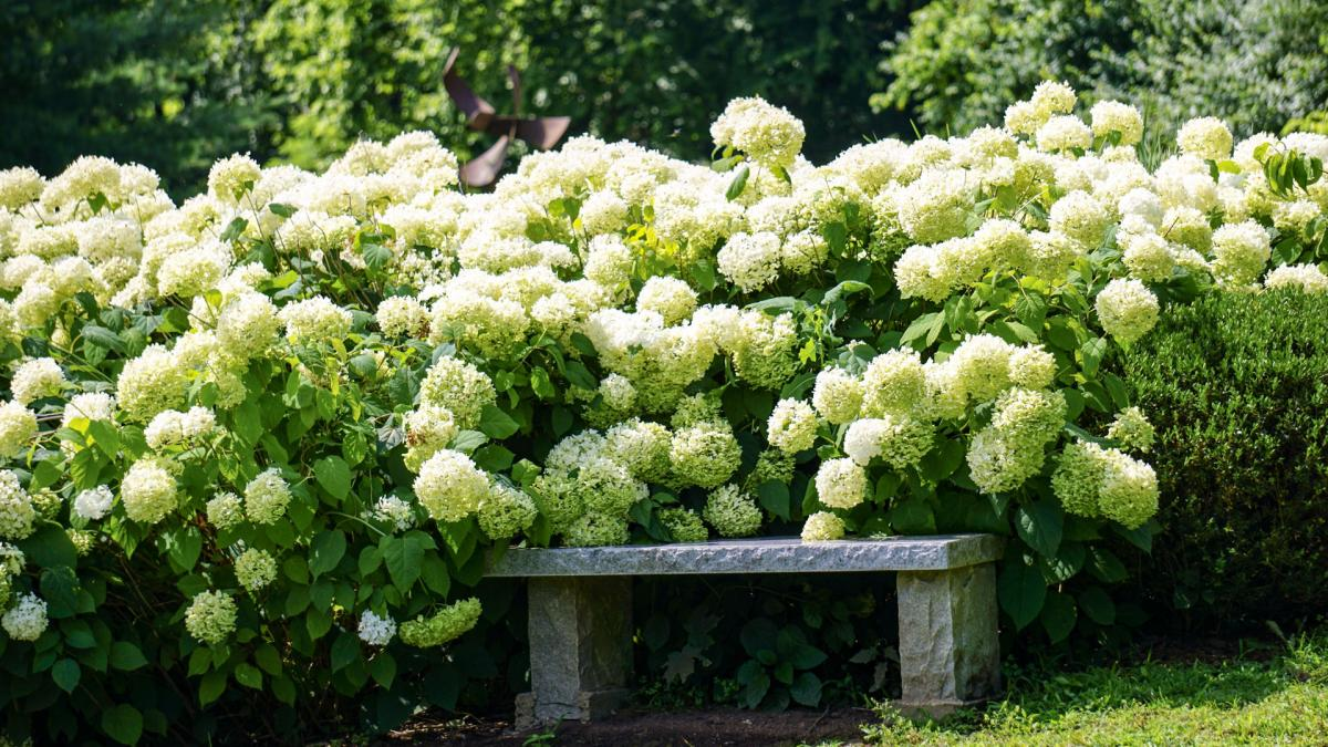 great het planten van de hydrangea arborescens annabelle with hortensia annabelle snoeien. Black Bedroom Furniture Sets. Home Design Ideas