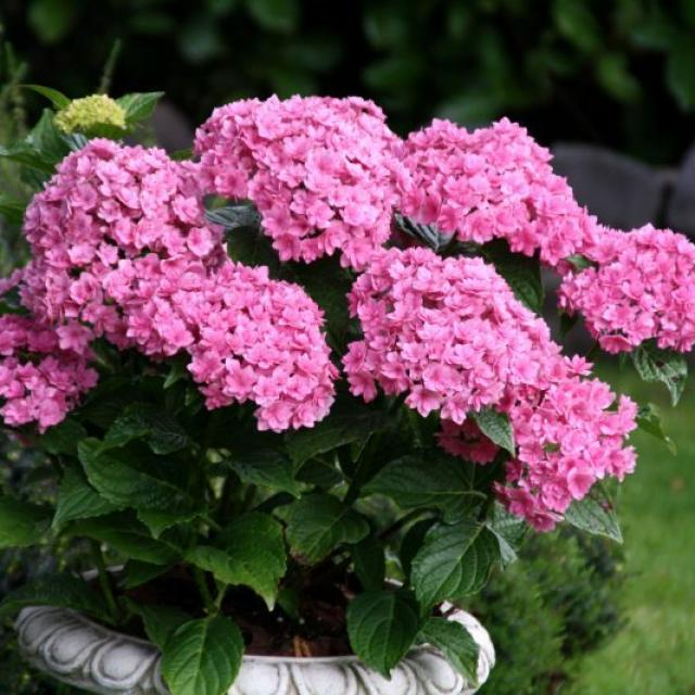 Hydrangea 'Together' pink